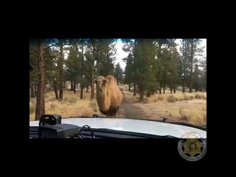 Camel on the loose in Sisters, Oregon