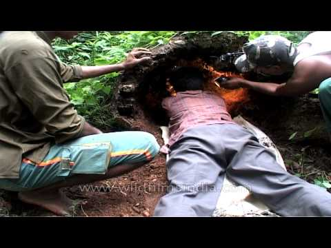 Worker taking out Python eggs from a tree trunk