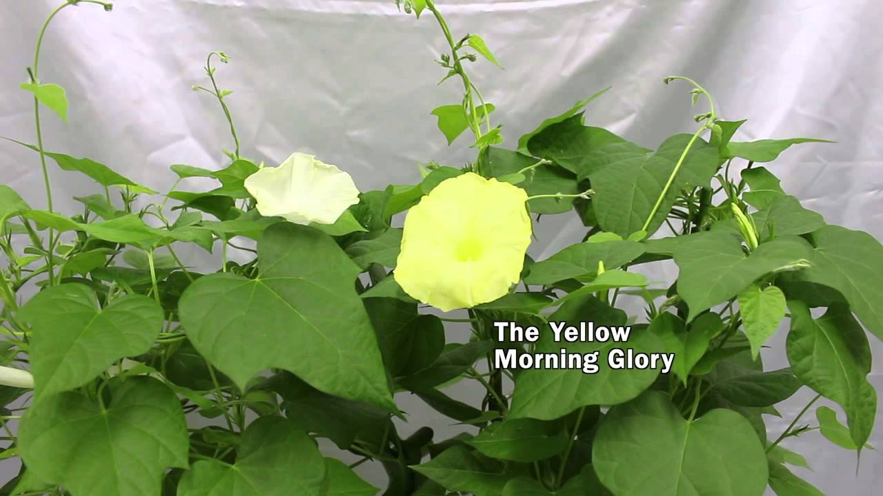 Yellow morning glory youtube yellow morning glory mightylinksfo
