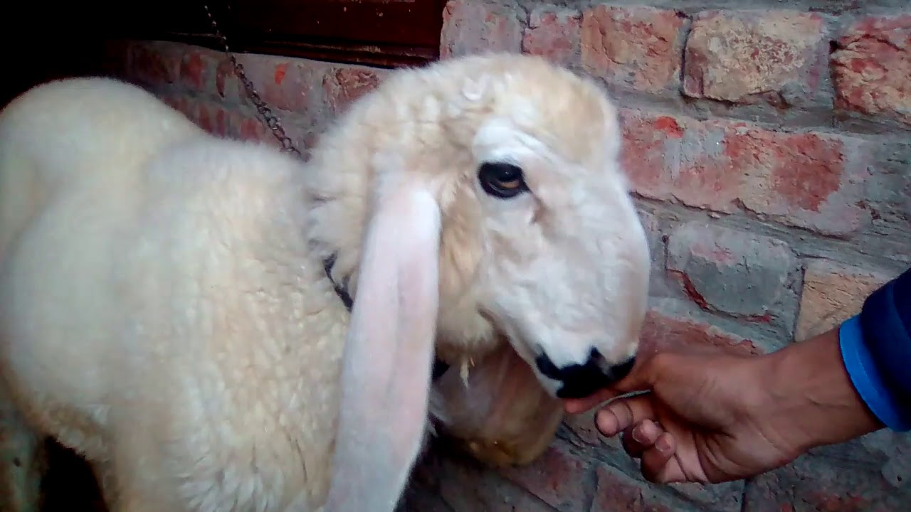 Kajla chatra pure nasli 3 months / tips about nasli / Hindi & Urdu by All  In one