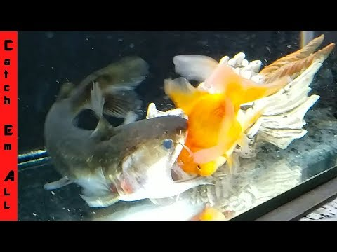 GOLDFISH SURVIVES The BLOB CATFISH!