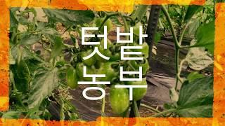 {텃밭농부}방울토마토재배.방울토마토재배방법.토마토재배법…