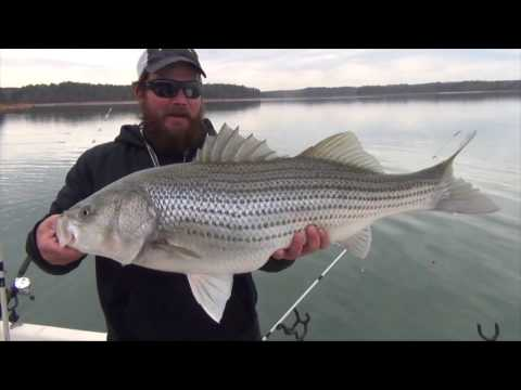 Lake Hartwell Striped Bass On Light Gear.