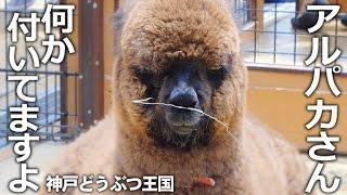 神戸市中央区『神戸どうぶつ王国』 鼻に草をつけたまま、すました顔して...
