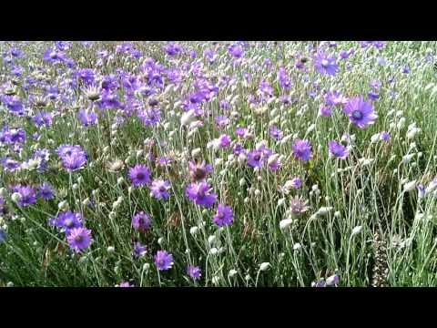 Фиолетовые полевые цветы - бессмертник