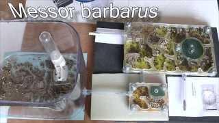 Messor barbarus Surprise