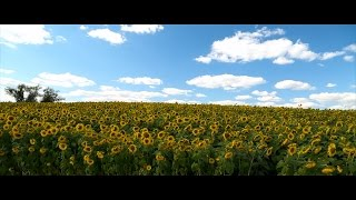 September Sunflowers - Field of Flowers