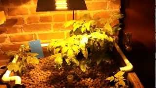 Gambar cover Aquaponics NYC Cilantro, Tomatoes & Thyme April Update