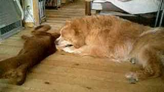 Irish Setter Puppy And Golden Retriever