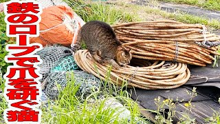 鉄のロープで爪を研ぐキジ猫発見!