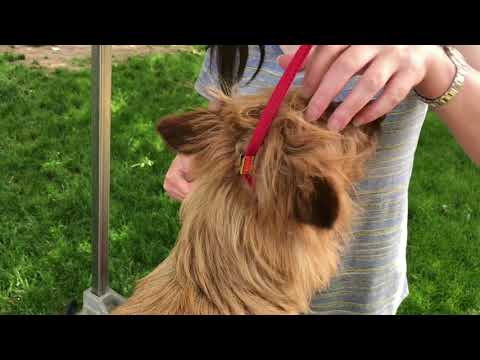 Australian Terrier Quick Grooming Tips