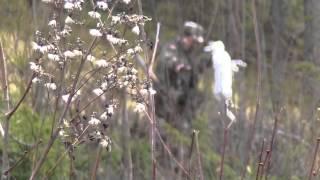 Охота на зайца беляка с Русской гончей в ноябре