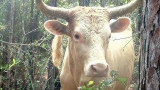 Pineywoods Cattle Under Observation at USM's Lake Thoreau