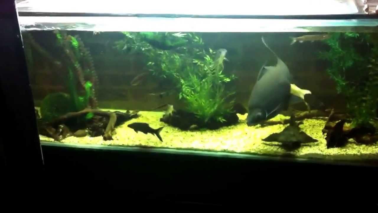 Black Shark Labeo Aquarium Tropical Fish Youtube