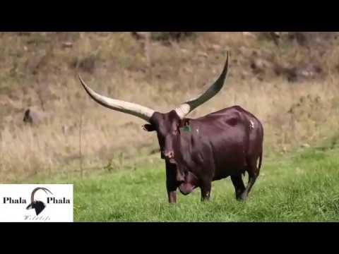 Phala Phala Wildlife and Stud Game Breeders presents: Ankole Long Horn Cattle