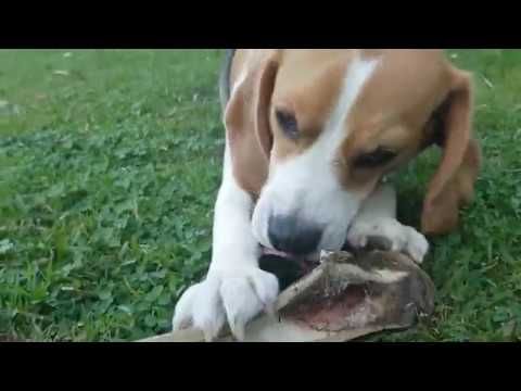 Puppy Tries to eat a bone too big for her