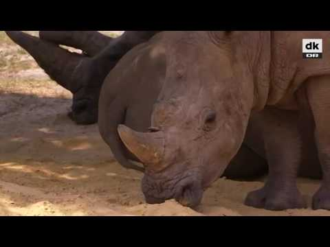 Næsehorn skudt og dræbt for sine horn i fransk zoo