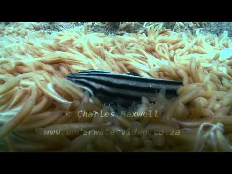 Life and Death of the Squid  Filmed by Charles Maxwell