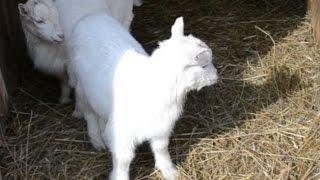 Завели коз. Кормим козлят и обрабатываем от клеща