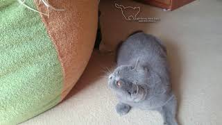 Eleonora - британская голубая кошка.