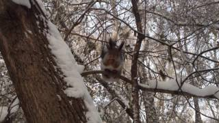 Белки играют на снегу и берут орехи с ладони, интересное видео про животных.