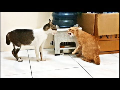 Very angry cats fight (real fight, no editing)