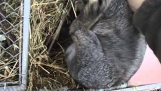 Разведение и содержание кроликов, клетки для них, кормление.(хоз двор)(, 2016-02-19T21:55:11.000Z)