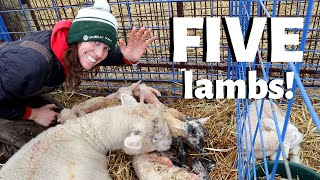 My sheep gave birth to QUINTUPLETS!: VLOG 212