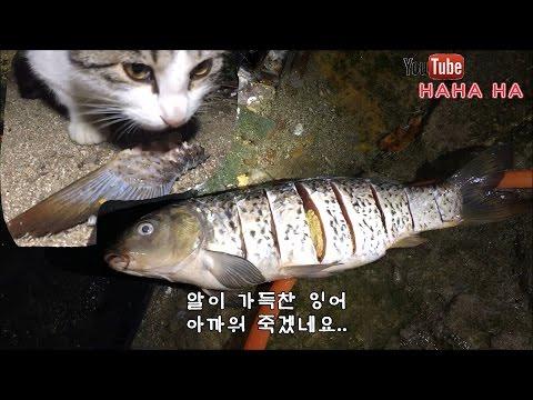고양이의 잉어먹방!
