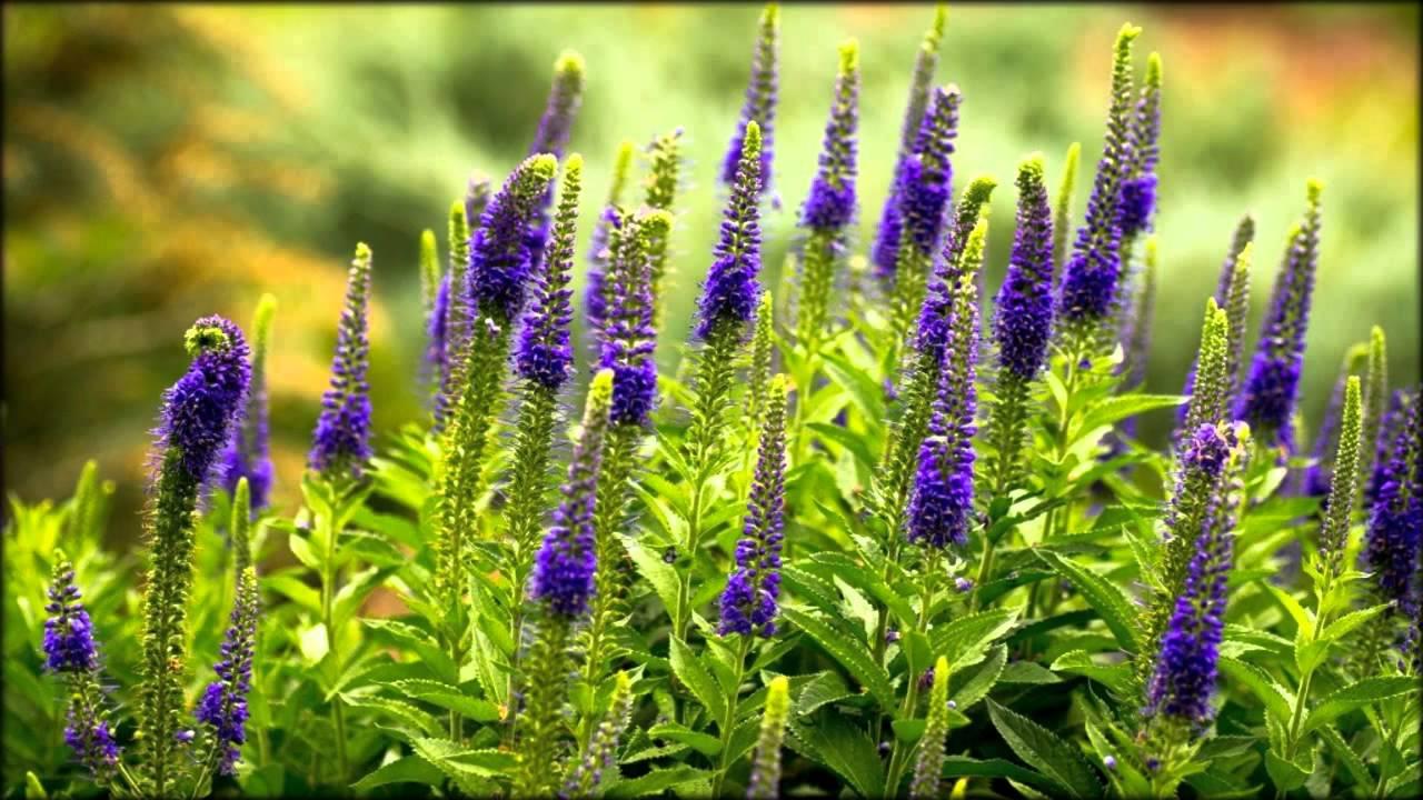цветок вероника фото