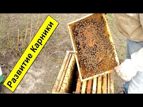 Пчеломатка Бакфаст 2017 года СХ «Тарханкут» поставка 24
