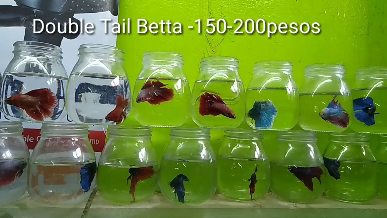 We buy Betta Fish at Cartimar (with prices)