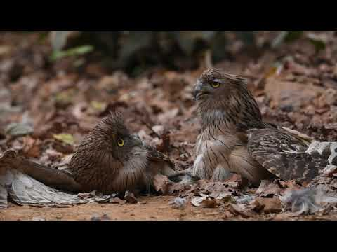 The Fight For Territory: Brown Fish Owl