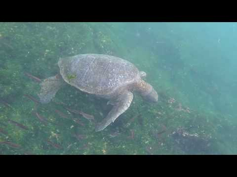 Grazing Sea Turtles - Floreana Island, Galapagos