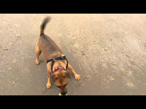 Day in the life of a Dog Walker in Blackpool - Poppy LOVES her ball!