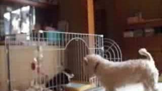 シェルティーの子犬のケージの扉を開けて、遊ばせようとしたところを、...