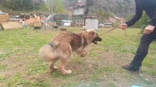 Jill, Leonberger 6 months during training. k9 Search & Rescue team ...