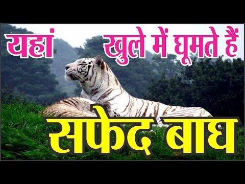 जहाँ खुले में घूमते हैं सफ़ेद बाघ , यकीन नहीं होता तो देखें पूरा विडिओ