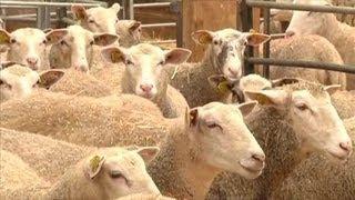 L'élevage de mouton a la côte (Aube)