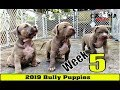 American Bully Puppies Week 5 Update Clip - (1 Female Available)