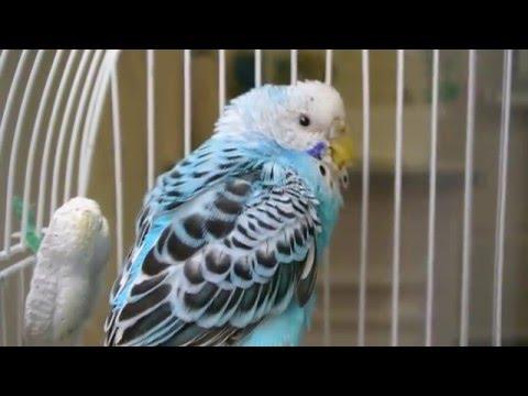 Воспаление зоба у попугая (попугай обречен)