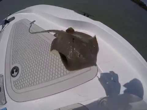 Grabbing a live stingray by the tail-bad idea!
