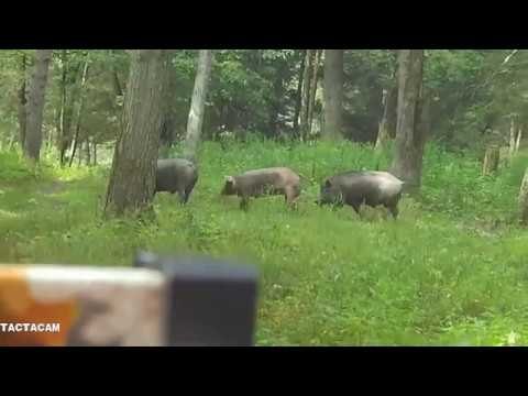 Tioga Boar Hunt 08 17 19