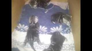 Британские мраморные котята 0676808454