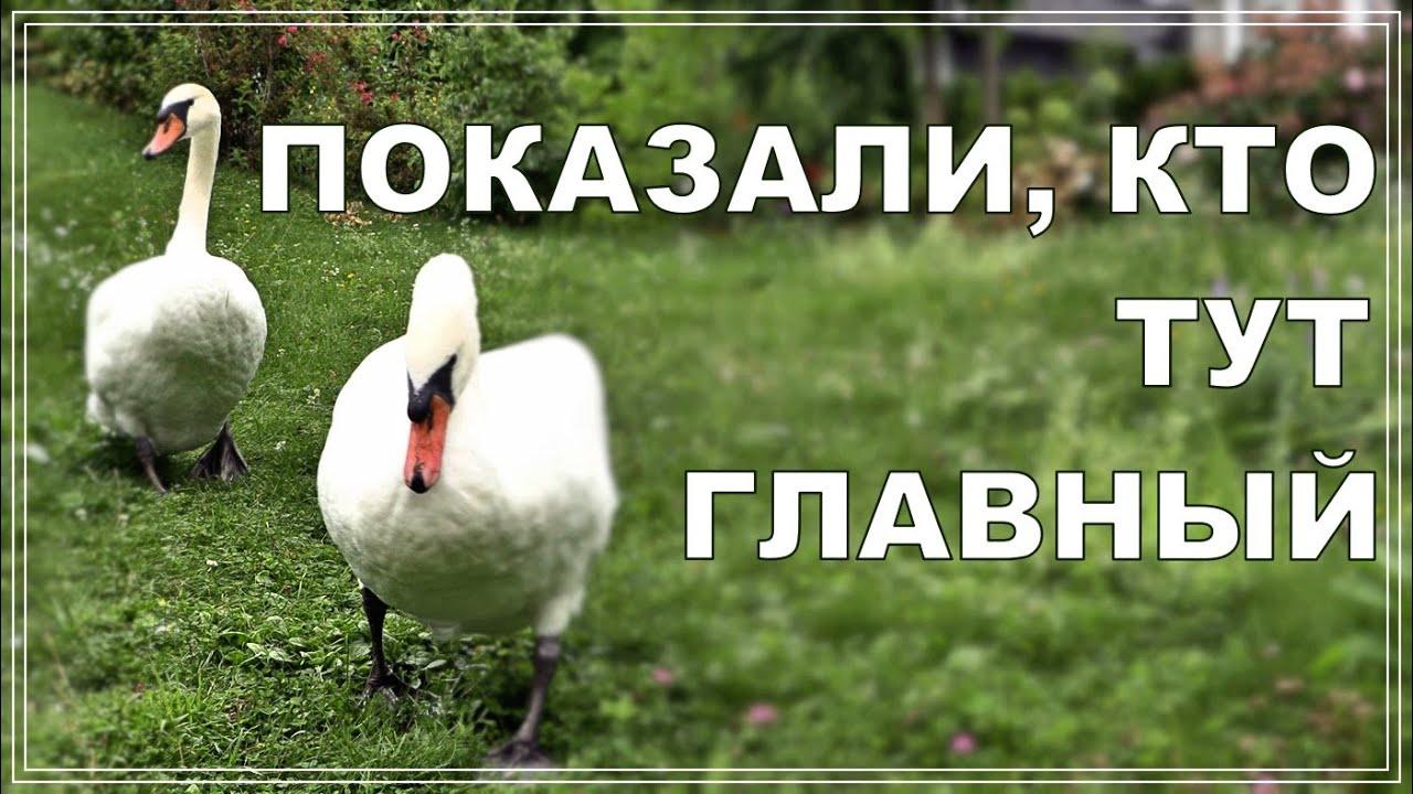 Белые лебеди прогоняют конкурентов. Весело и мирно!