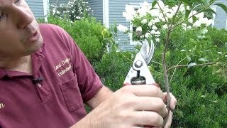 How to Prune Evergreen Shrubs Selectively