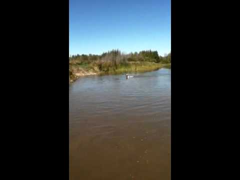 8 moth old english pointer swimming first time
