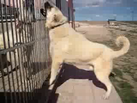 the kurdish kangal dog youtube. Black Bedroom Furniture Sets. Home Design Ideas