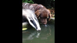 Badgers are playing with a dog