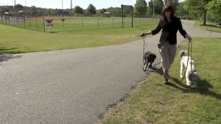 Dog Training Puppy To Loose Leash Walk At The Park